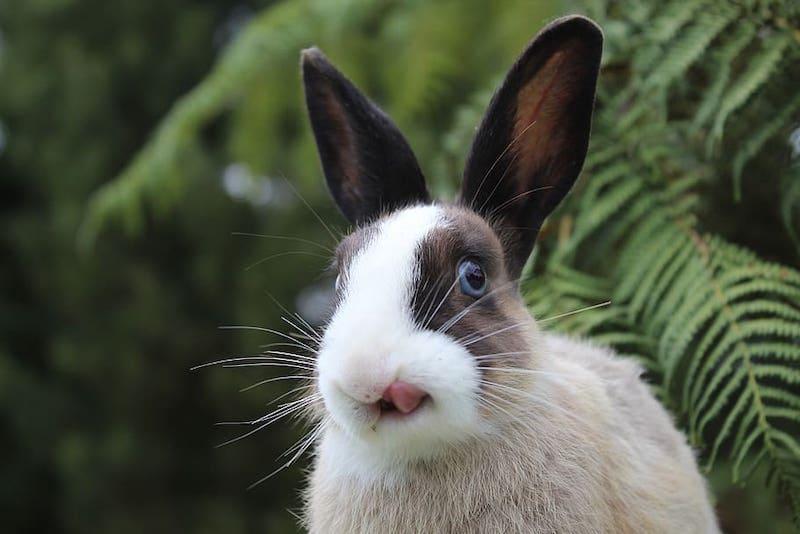 Rabbit licking lips