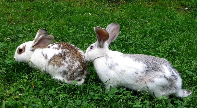 Rabbits-two_on_grass