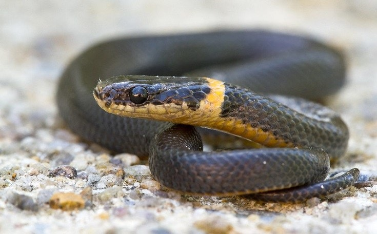 Ringneck Snakes
