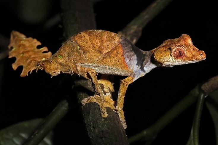 Satanic Leaf Tailed Gecko_shutterstock_Ryan M. Bolton
