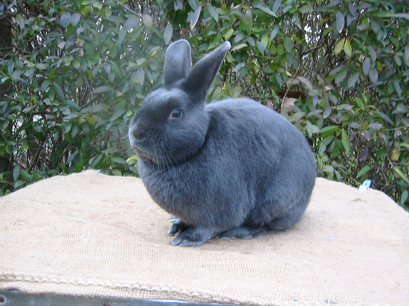 Satin Rabbit