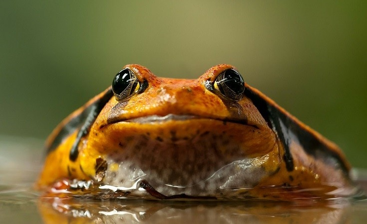 The Tomato Frog