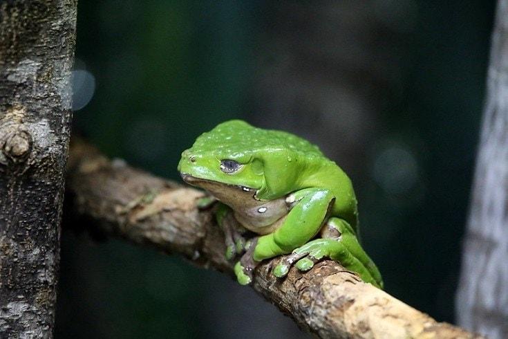Waxy Monkey Frog