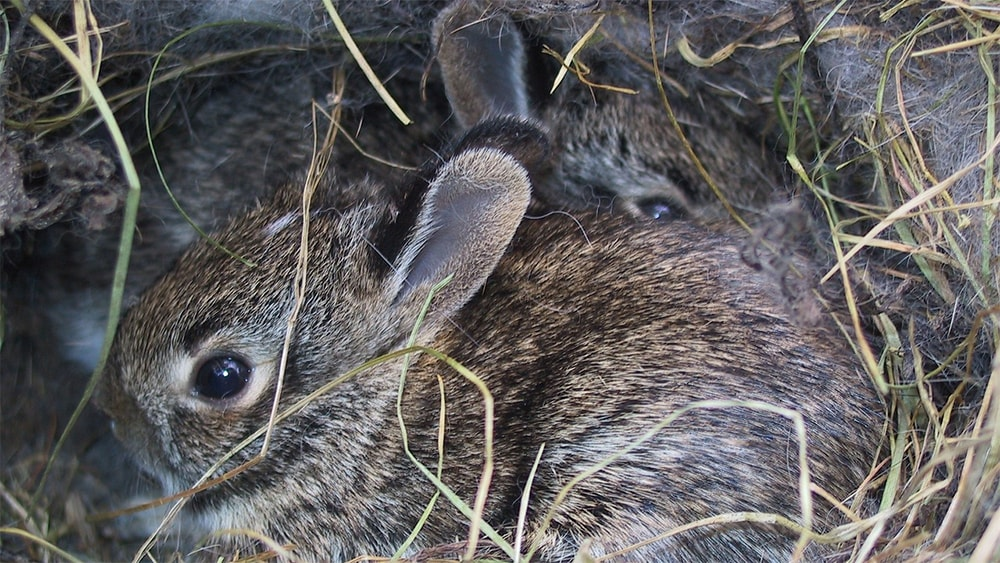 rabbits in a nest.