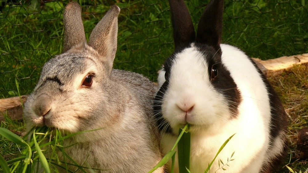 Why are rabbits good pets featured image.