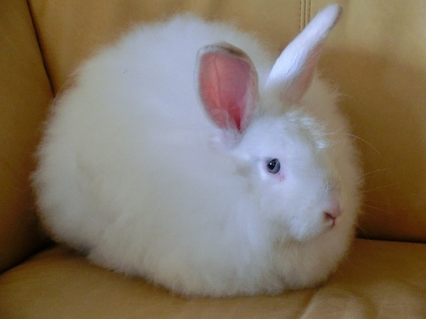 White Satin Angora Rabbit