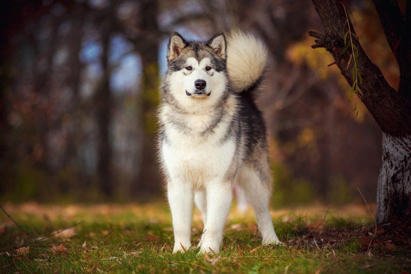 alaskan malamute_Tatyana Kuznetsova, Shutterstock