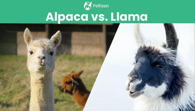alpacha vs llama