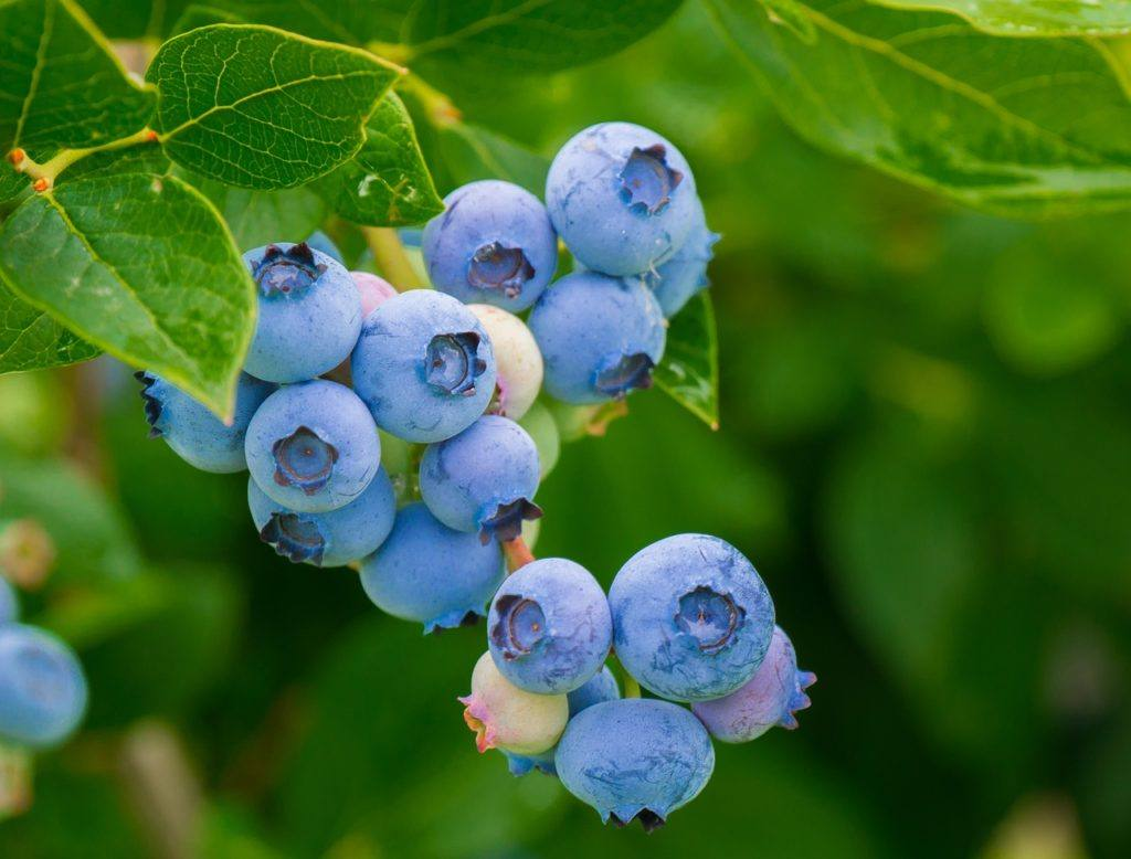 blueberries in the tree