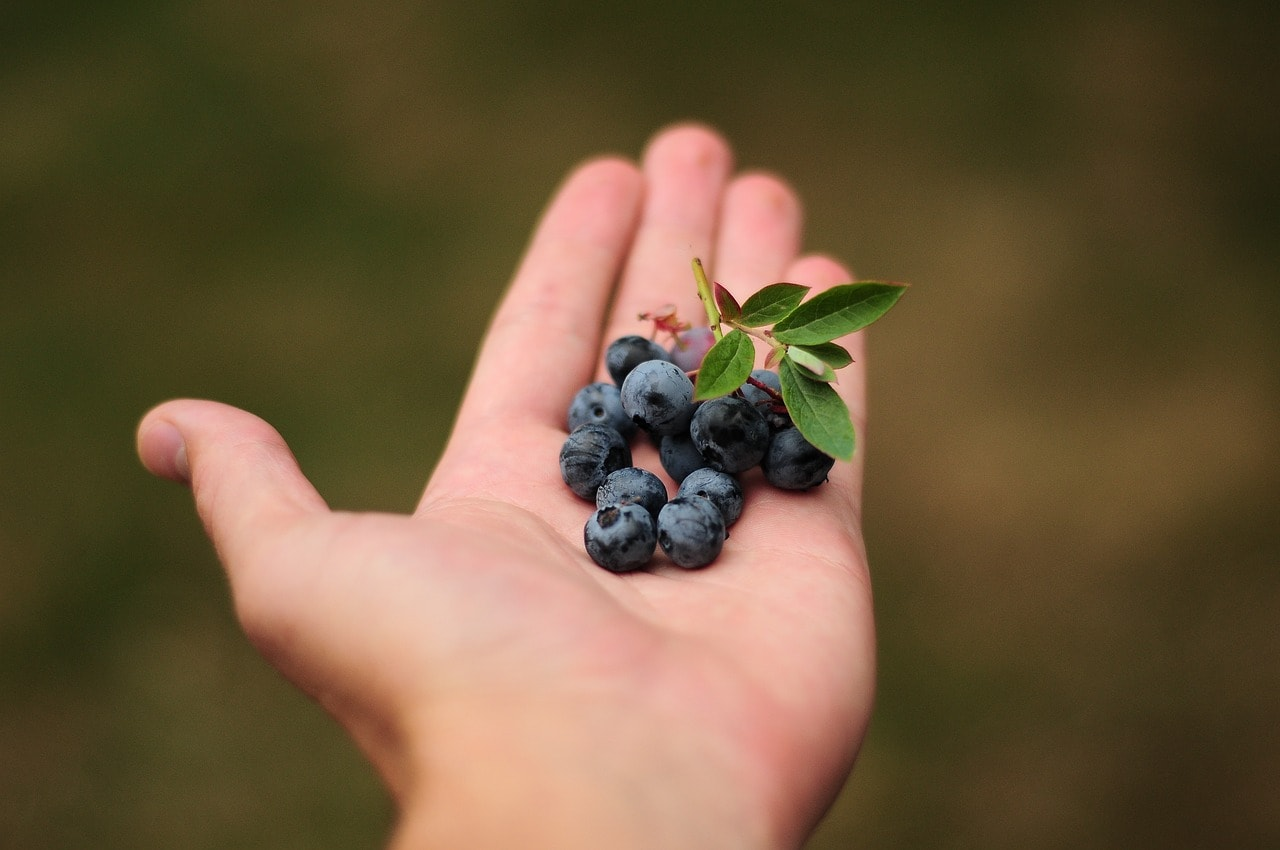blueberries in a hand
