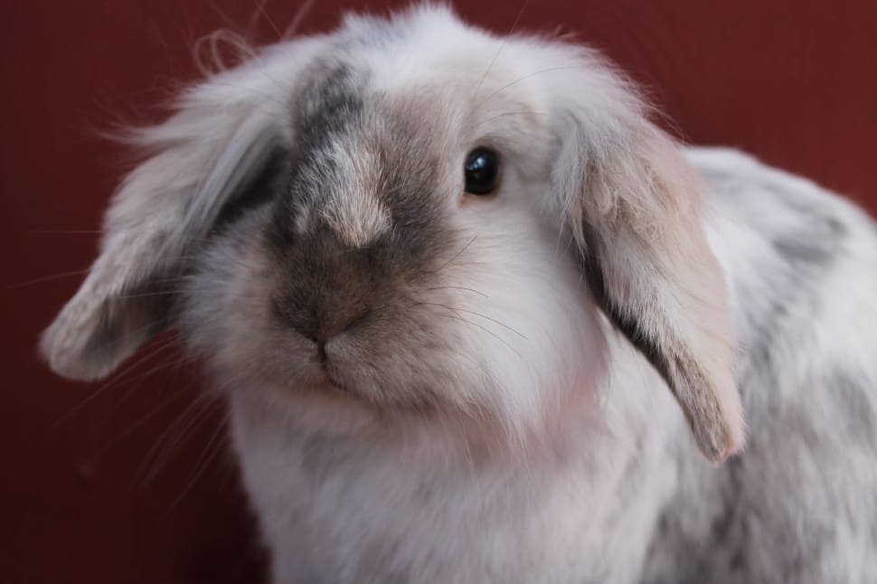 bun-rabbit-cute-bunny-white-silver-wallpaper-preview