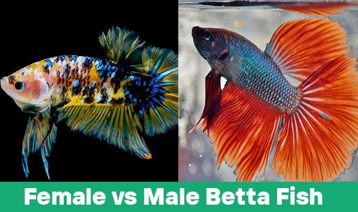 female vs male betta fish