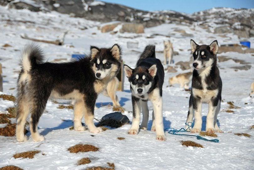 greenland dogs_Pixabay