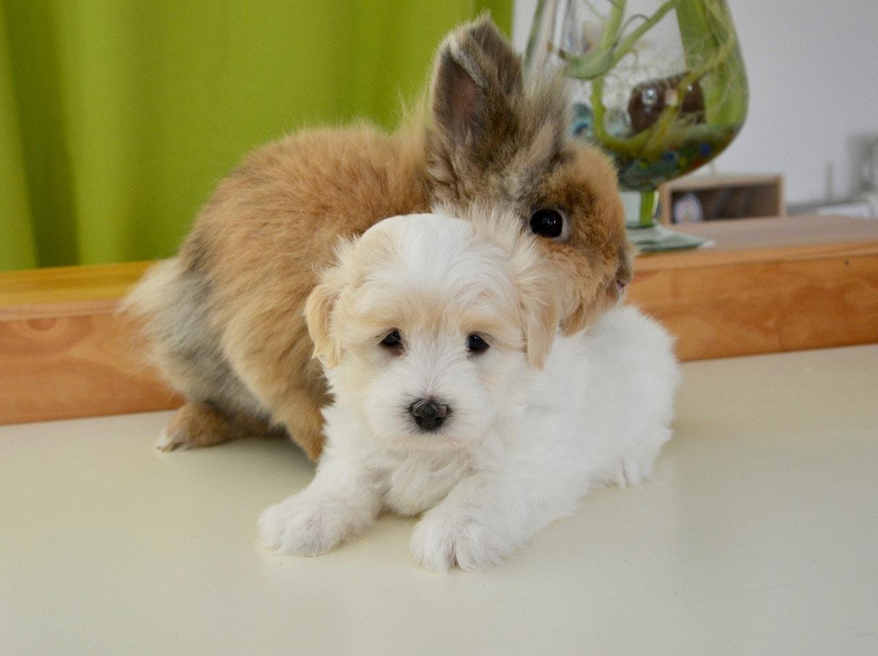 domestic rabbit hugging a white puppy