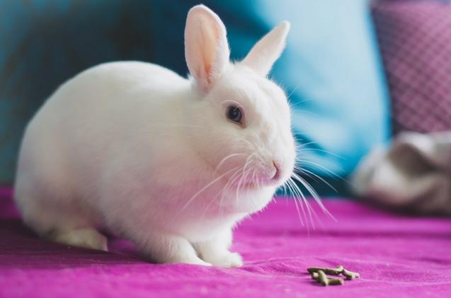 White Vienna Rabbit
