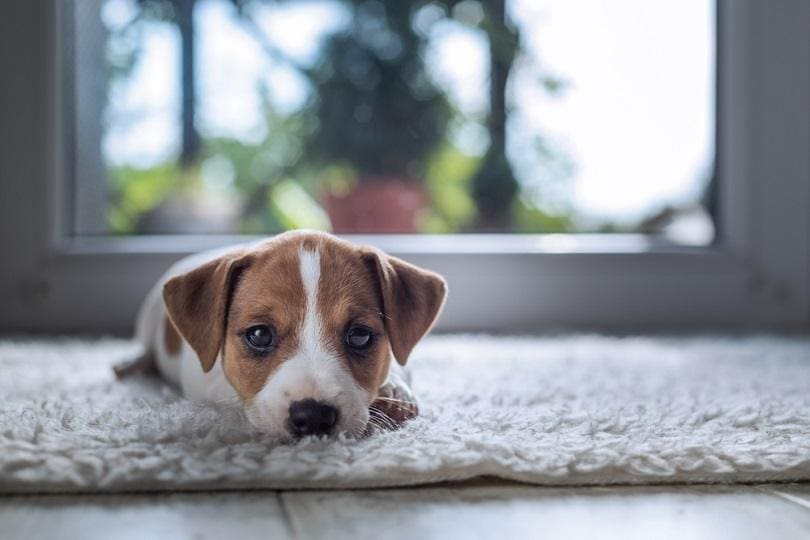jack russel puppy on white carpet_Smit_shutterstock