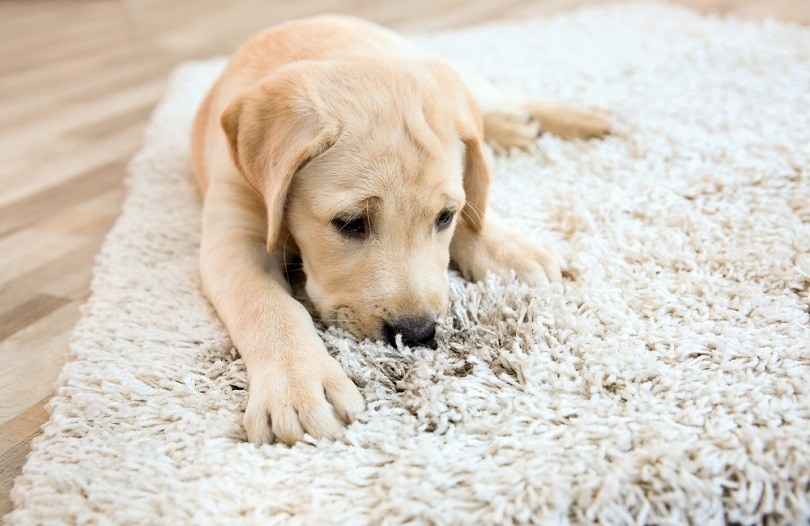 puppy on dirty rug _Africa studio_shutterstockk