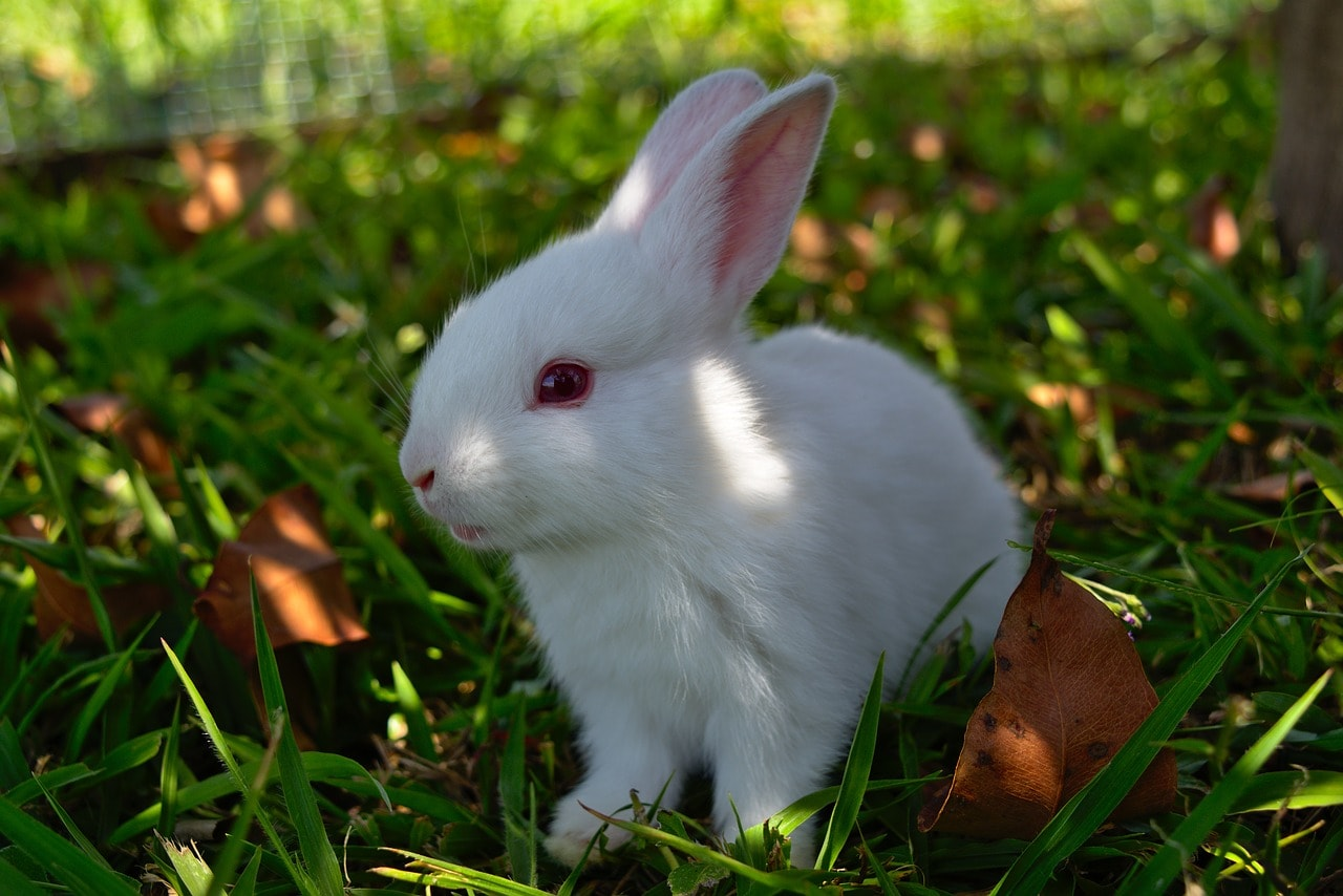 florida white rabbit