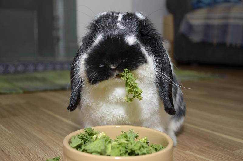 rabbit eating kale
