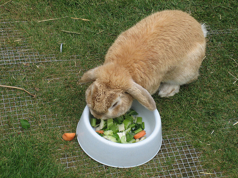 rabbit eating vegetables