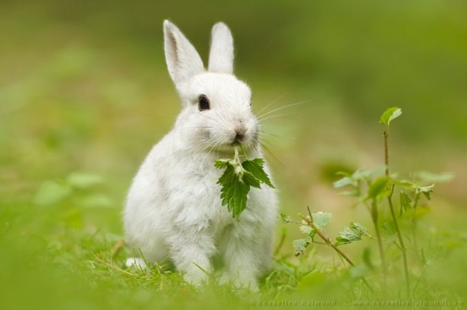 A rabbit eating food in the wild. This is the header image for the best rabbit food for good health article.