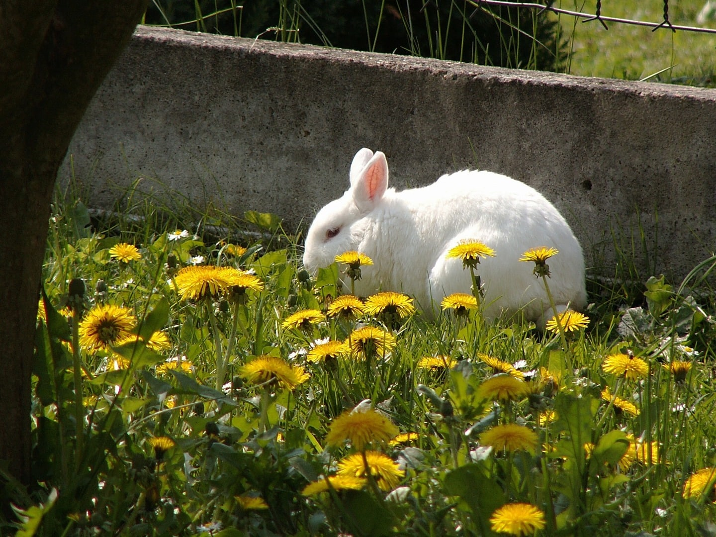 rabbit in dandelions