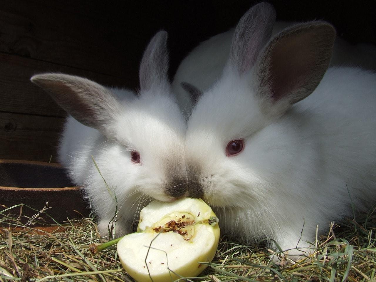 rabbits eating fruit