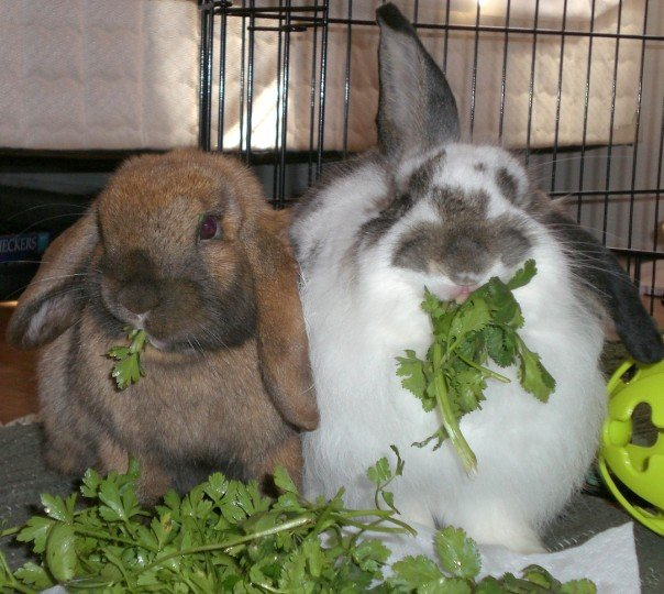 rabbits eating cilantro