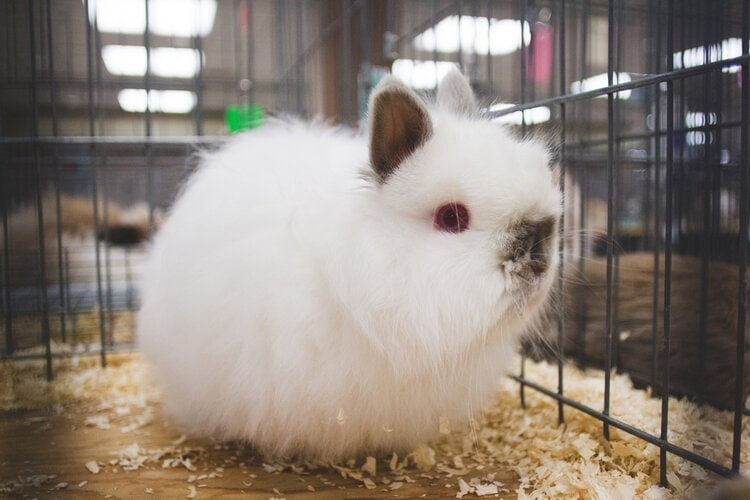49 Types Of Show Rabbit Breeds With Pictures Pet Keen