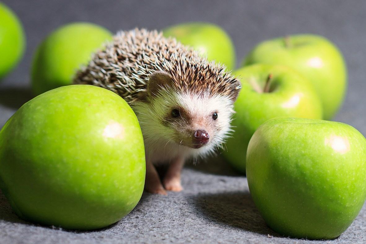 somalia hedgehog