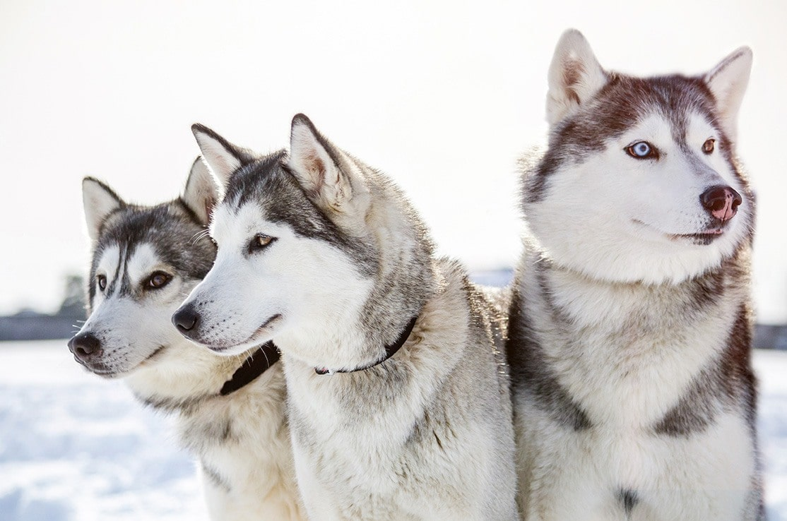 three siberian husky dogs