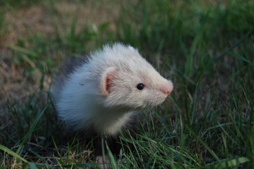 Angora ferret baby 6 weeks_Yasmins world_shutterstock