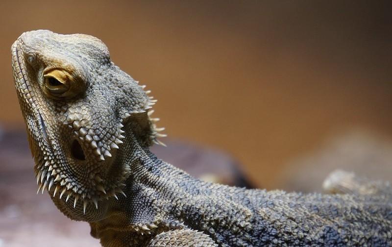 Bearded Dragon Side View