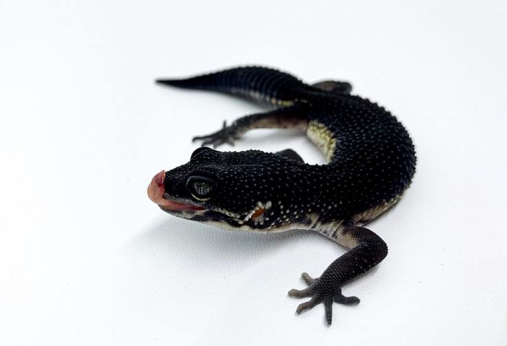 Black Night leopard gecko