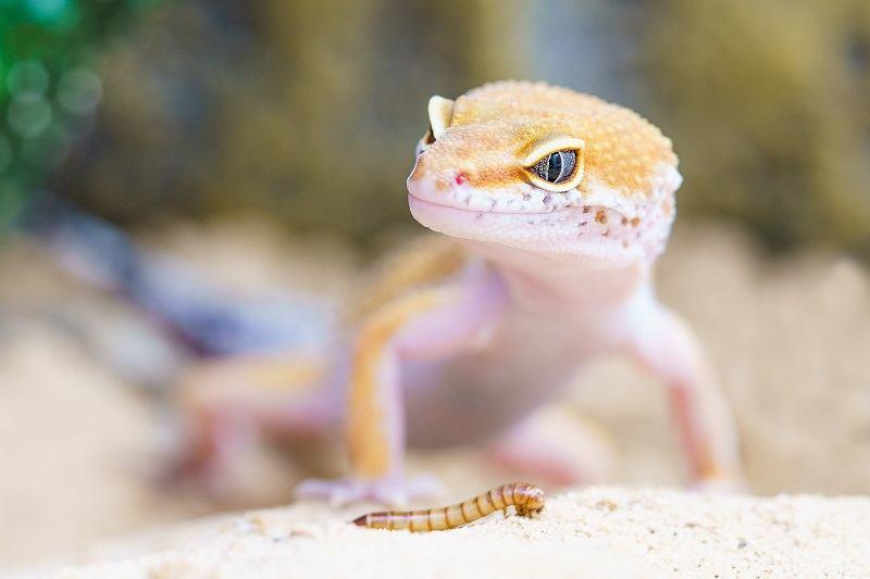 Blue Amber Eye Gecko