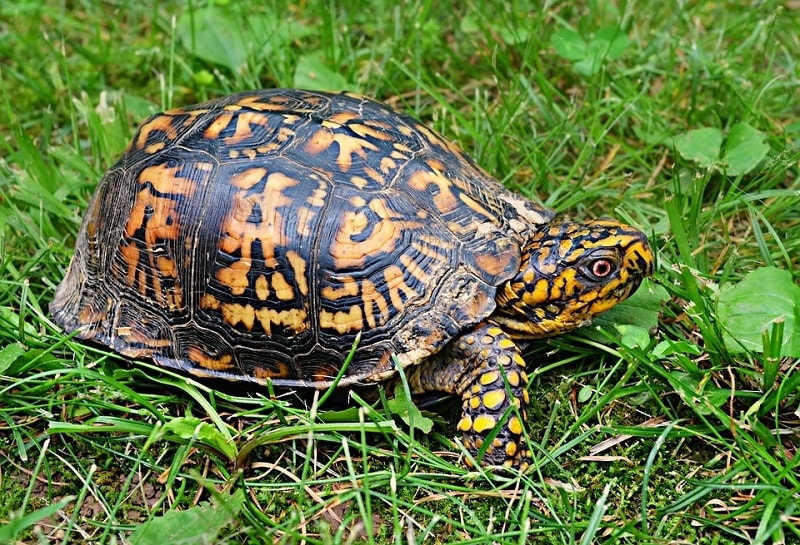 Box Turtle Nature