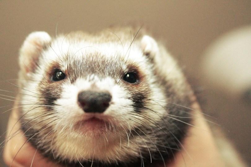 Cute little domestic ferret, female adorable_Bea K_shutterstock