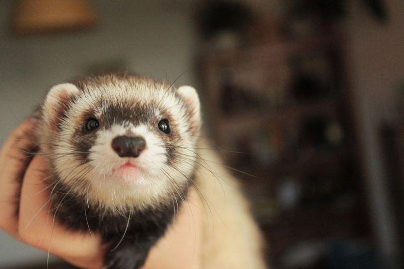 Cute little domestic ferret, female_Bea K_shutterstock