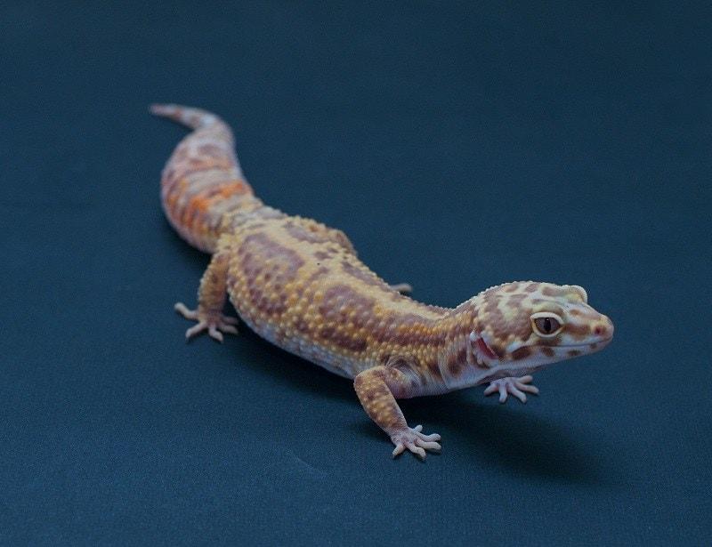 Enigma Gecko_shutterstock_Sardo Michael