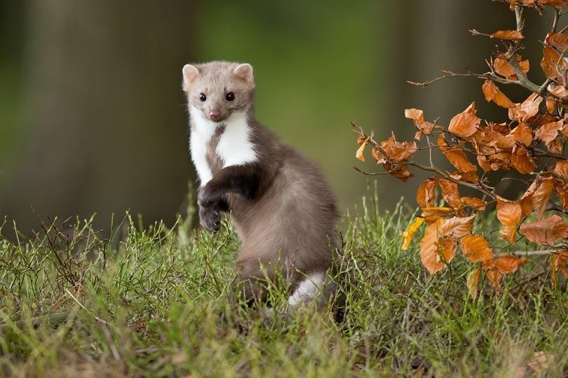 European pine marten weasel