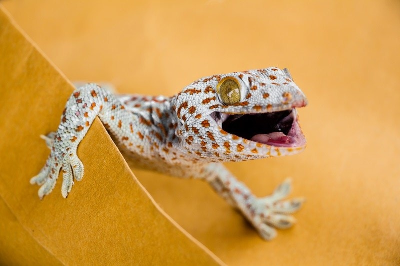 Gecko Morph_shutterstock_Daimond Shutter