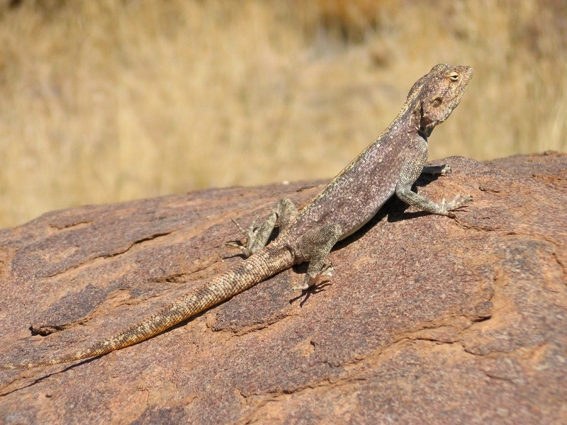 Giants Gecko