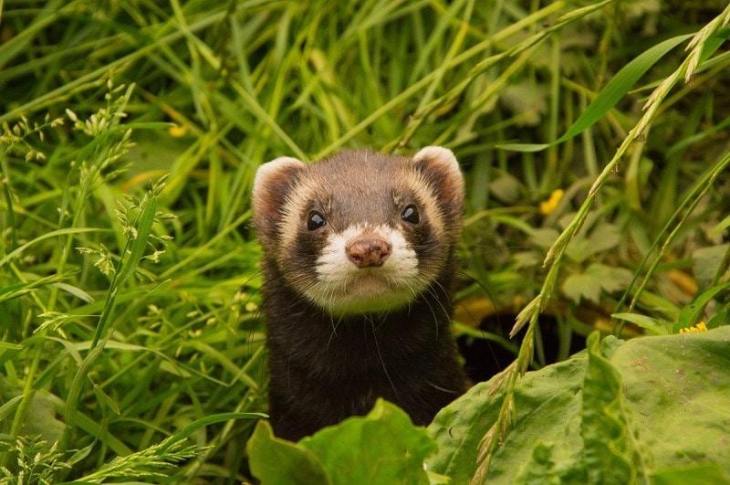 Indoneseian Mountain Weasel