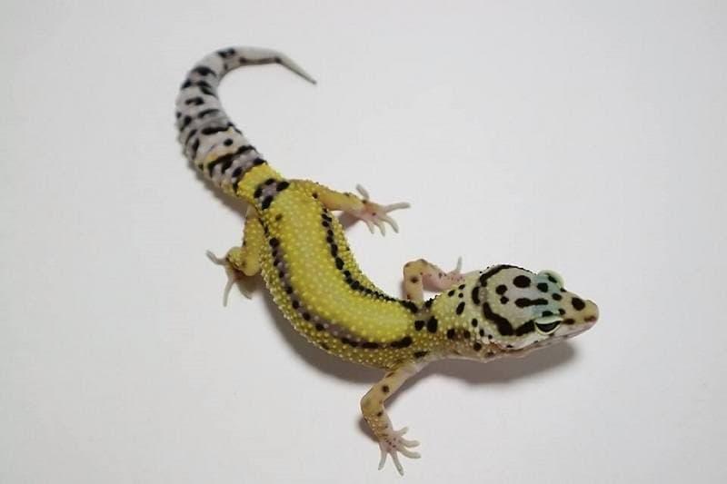 Lavender Stripe Gecko_shutterstock_aguspurnama47