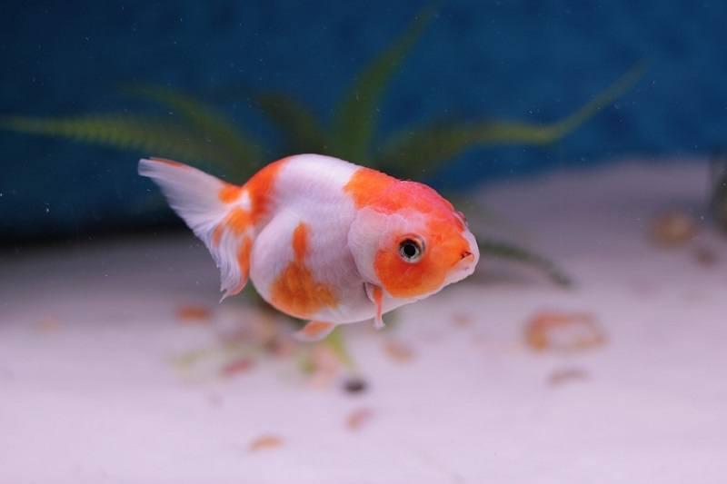 Lionhead Goldfish_TDesigns, Pixabay