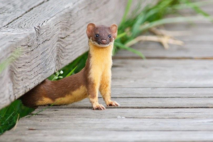 Long Tailed Weasel_wildphoto3_shutterstock
