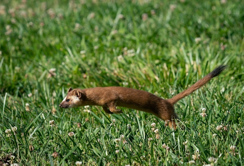 Long-tailed Weasel Hunting_Kelp Grizzly Photography_shutterstock