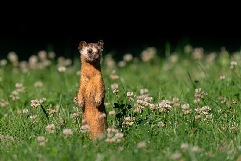 Long-tailed Weasel_Kelp Grizzly Photography_shutterstock