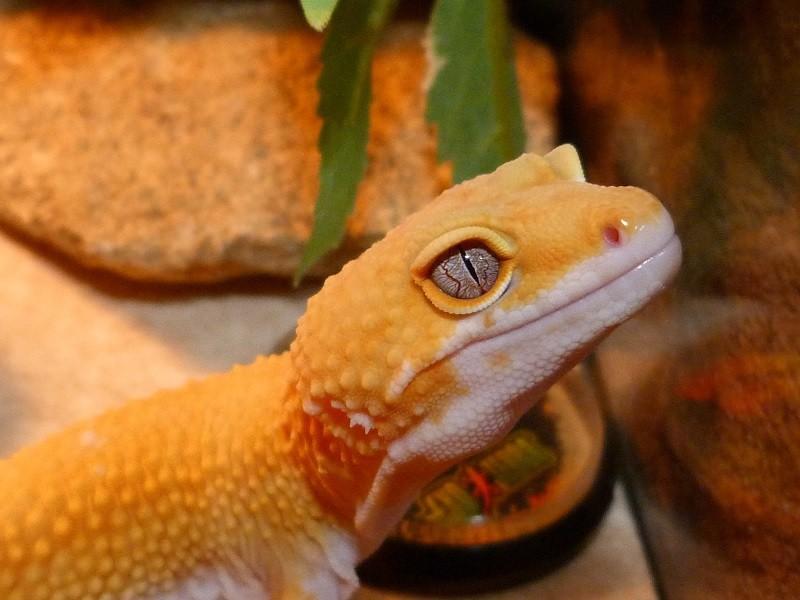 Marble Eyed Gecko