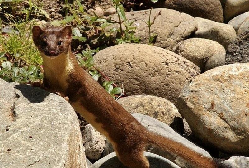 Mountain Weasels